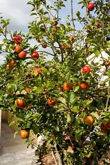 SCE_1628 (staneastwood) Tags: plant tree apple fruit wales vineyard outdoor pembrokeshire appletree staneastwood stanleyeastwood cumderi