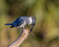 Thwack!!! (Andy Morffew) Tags: fish sebastian perch thwack beltedkingfisher subdued eiap naturethroughthelens andymorffew morffew