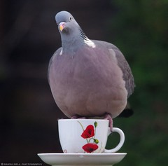 pigeon on tea cup (3) (Simon Dell Photography) Tags: life new wood old wild bird simon cup nature birds garden photography diy photo village tea pigeon wildlife sheffield yorkshire drinking feeder dell s12 hackenthorpe cuup