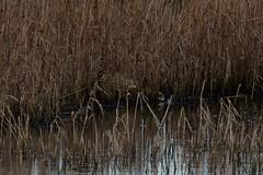 Fishing Bittern. (stonefaction) Tags: nature birds scotland angus wildlife basin montrose bittern