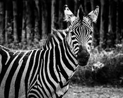 Zebra (Sas & Rikske) Tags: zoo african zebra afrika animales coats zwart wit animali striped pyjama paard strepen daiza brugelette pairi riksketervuren ericbruyninckx