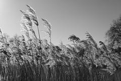 reeds (dick_pountain) Tags: blackandwhite london reeds blackwhite pond parliamenthill