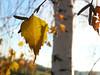 The last leaf (jittkoc) Tags: sun macro tree leaf outdoor birch panasonicdmctz3