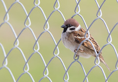 Eurasian Sparrow. Passer montanus (okiox) Tags: cute green bird nature beautiful grass animal japan fauna canon fence asia background wing beak feather sparrow 400 okinawa common eurasian base passer plumage montanus