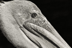 brown pelican detail (D()MENICK) Tags: portrait brown bird assignment pelican weekly active aaw bestofweek1 bestofweek4