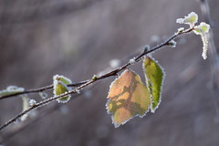 frostig / frosty (chrissie.007) Tags: winter frost frosty bltter frostig gefrostetebltter 20160120