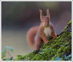 au pied de son arbre (guiguid45) Tags: nature nikon squirrel animaux forêt écureuil sauvage loiret mammifères 500mmf4 d810