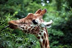 Black Tongue (Heaven`s Gate (John)) Tags: trees black green nature leaves tongue closeup tanzania head wildlife safari wildanimal giraffe bornfree johndalkin heavensgatejohn