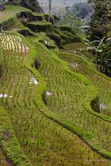 20150913160516.jpg (Marisa y Angel) Tags: bali ricefields paddyfields 2015 jatiluwih camposarroz