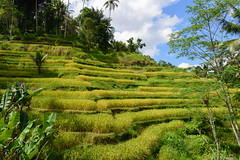 Ubud, Indonesia - Tegallalang Rice Terraces (GlobeTrotter 2000) Tags: travel bali tourism indonesia landscape asia rice farmers terraces visit ubud tegallalang