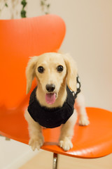 IMG_2279 (yukichinoko) Tags: dog dachshund 犬 kinako ダックスフント ダックスフンド きなこ