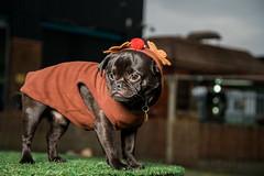 Pugfest Xmas 2015 (Action Petz!) Tags: park christmas charity xmas uk dog dogs wales puppies south cardiff pug canine bark pugs dogpark dogphotography doggydaycare pugfest dogfun actionpetz