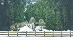Uzungl - Trabzon (ehanoglu) Tags: wood travel winter lake snow tree pine turkey landscape trkiye kar trabzon emre pinewood manzara gl k uzungl emrehanoglu emrehanolu hanolu