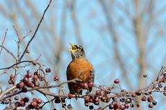 a snack on a tree (gdajewski) Tags: ny crossing berries dof bokeh albany americanrobin nikkor70200mmf28gafsvr nikond7000 dajewski gdajewski