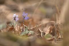 Leberblume (Hepatica nobilis) (Chris Nature) Tags: flower nature bayern deutschland spring bokeh lila grn braun blume wald frhling nobilis hepatica frhjahrsblher leberblume geophyt