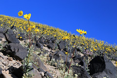 Mound of Desert Gold, Death Valley, January 2016 (2) (Bob Palin) Tags: california 15fav usa southwest flower 1025fav canon nationalpark desert outdoor 100v10f deathvalley club100 100vistas instantfave flowerpicturesnolimits ashotadayorso orig:file=2016012804782