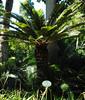 Cycas Revoluta, Sago palm (annamaart) Tags: palms palmer jungle tenerife teneriffa canaryislands puertodelacruz kanarieöarna djungel