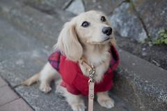 IMG_5183 (yukichinoko) Tags: dog dachshund 犬 kinako ダックスフント ダックスフンド きなこ