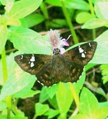 ecosystem/fauna/Dusky Spotted Flat(Celaenorrhinus fusca) (biodiversity western ghats) Tags: sahyadri pyrginae butterflyindia diversityindia hersperiidae