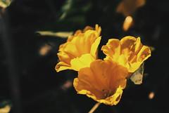 """Aquí viene la primavera"". (yamircuevas) Tags: flowers flores flower leave primavera nature floral leaves yellow méxico garden flora bokeh amarillo bloom veracruz silvestre pozarica natureporn pozaricadehidalgo"