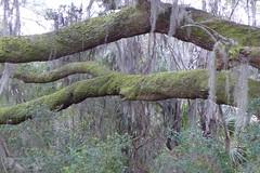 Mossy Branches (Rinny1959) Tags: tree leaves leaf moss southcarolina brach kylesecretan