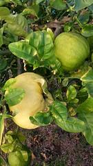 Grapefruit on a tree (Maggie Mbroh, joeyjorie) Tags: grapefruit citrus citrusfruit grapefruittree romanticgrapearbor unripenedgrapefruit