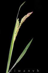 Holcus lanatus (iwanvh) Tags: art nature flora artist photographer biodiversity iwan photographe naturalist naturaliste environement holcuslanatus houlquelaineuse iwanvh vanhoogmoed wwwiwanvhcom