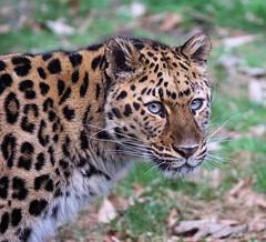 Kalinika (greekgal.esm) Tags: feline sony leopard bigcat binghamton amurleopard rosspark binghamtonzoo sal70300g kalinika a77m2 a77mii