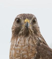 Red-shouldered Hawk Portrait (BobHartmannPhotography) Tags: usa bird birds landscape wildlife everglades fl 365 bp 1365 bobhartmann wwwbobhartmanncom bobhartmannphotography bobhartmanncom bbobhartmann