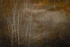 . (vieubab) Tags: texture nature couleurs branches hiver arbres paysage extrieur sentier chemin fort sapin bois calme verdure feuille feuillage feuillesmortes troncs atmosphre branchage luminosit