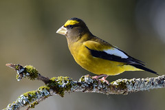 Gros-bec Errant ♂ Evening Grosbeak (Sylvain Prince) Tags: evening grosbeak errant grosbec sigma150600c