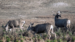 Oh, does these days! - Oolala IV (VFR Photography) Tags: nature animal animals unitedstates natural nps wildlife doe antlers northdakota nd does buck nationalparkservice muledeer bucks antler rut medora lateautumn mulies billingscounty theodorerooseveltnationalparksouthunit