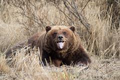 Grin and bear it (frostnip907) Tags: bear alaska grizzly girdwood brownbear grizzlybear alaskawildlifeconservationcenter canon7d tamron150600mmf563spdivcusd