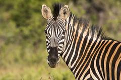 The stare (Sheldrickfalls) Tags: southafrica zebra mpumalanga plainszebra burchellszebra lydenburg kuduranch kuduprivatenaturereserve kudugameranch