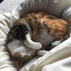 20160225cats002 (detsugu) Tags: cats kinako 20160225