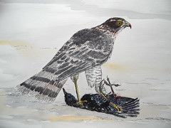 Sparrowhawk and starling (marilyndewar458) Tags: bird starling watercolour predator sparrowhawk