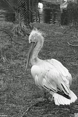 Krauskopfpelikan (auschmid) Tags: bw schweiz sw bern pelikan tierpark tier vogel pelecanus dhlhlzli krauskopfpelikan sal100m28 slta99 auschmid