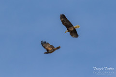 Bald Eagles battle for breakfast - Sequence - 5 of 42