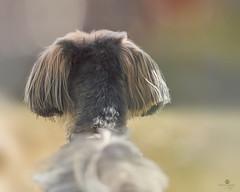 never again (rockinmonique) Tags: portrait dog pet canon soft dof bokeh dreamy tamron bogie moniquew