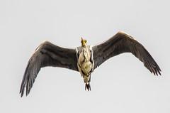 Grey Heron Overhead (phat5toe) Tags: nature birds nikon wildlife flight feathers avian wigan flashes greyheron wader greenheart lancashirewildlifetrust d7000 sigma150500