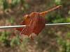 Dragonfly (Jackie & Dennis) Tags: india wayanad rwh kalpetta bansura ramblersworldwideholidays kuttiyamvayall spicesplantationshillstations banasuraislandretreat