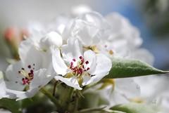 Pear-blossom (hub en gerie) Tags: nature garden ngc natuur pearblossom tuin bloesem bloem autofocus perenbloesem platinumpeaceaward allnaturesparadise