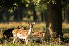 Fallow Deer in Phoenix Park (Aga G. Photography) Tags: park morning trees nature phoenix animals outdoors deer mammals fallow canon5dmark3