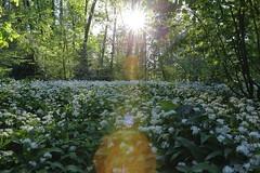 IMG_3294 (LIL Scarab) Tags: sunset france flower green fleur canon spring lyon usm parc tetedor redring llens 24x36 f28l ef2470mm 6ieme onlylyon igerslyon monlyon