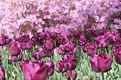 Sherwood Gardens ~ purplelicious feast - HCS! (karma (Karen)) Tags: flowers dof azaleas tulips bokeh maryland baltimore brightcolors bushes cliche hcs sherwoodgardens 4spring cmwdpurple