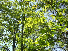 Ahorn: Berg-Ahorn, Laubb & Zweige 2104201601 (bossco139) Tags: maple acer ahorn bergahorn sykomoremaple