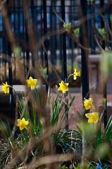 Spring flowers (Z!SL) Tags: city newyorkcity flowers urban newyork flower nature brooklyn spring flora cityscape dof unitedstates bokeh sony depthoffield mirrorless bokehwhores sonyphotographing emount minoltaemount sel55210 nex5r