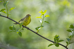 Migration is Here! (santosh_shanmuga) Tags: park wild bird nature field animal river outdoors spring md nikon state outdoor wildlife birding maryland aves palm migration 500mm warbler susquehanna songbird harford d3s susquehannariverstatepark