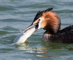 Great Crested Grebe (Podiceps cristatus). (dave.mcculley) Tags: bird water great diver rutland crested grebe