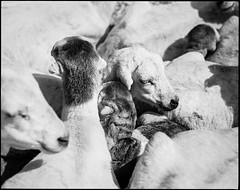 A knot of sheep (nahlinse) Tags: film animals iso100 sheep ethiopia nomads fujineopanacros fujineopanacros100 film:brand=fuji film:iso=100 developer:brand=adox film:name=fujineopanacros100 adoxadonal developer:name=adoxadonal filmdev:recipe=9369